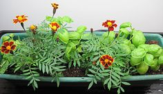 Marigolds can be the means to aphid-free basil