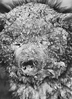 Sebastiao Salgado. Fiere winds in the daytime freezing over sled dogs face