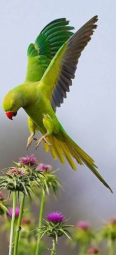 Rose-ringed Parakeet. Mais
