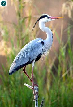 ☎️ https://www.facebook.com/WonderBirdSpecies/  Grey heron (Ardea cinerea); Temperate Europe and Asia and also parts of Africa;  IUCN Red List of Threatened Species 3.1 : Least Concern (LC)(Loài ít quan tâm)  Diệc xám; Châu Âu, châu Á ôn đới và một phần châu Phi; HỌ DIỆC - ARDEIDAE (Herons).