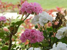 #fiori#rosa#bianco#verde#