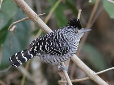 Barred Antshrike (Thamnophilus doliatus)The barred antshrike is a passerine bird in the antbird family. It is found in the Neotropics from Tamaulipas, Mexico, through Central America, Trinidad and Tobago, and a large part of South America ...