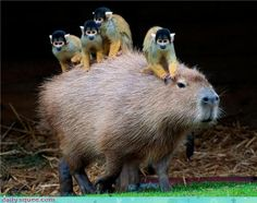 Four Monkeys Riding A Capybara