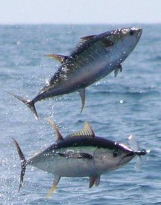 Flying Tunas In Puerto Vallarta