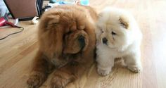 chow chow  AWWW! adorable!!!