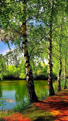 Birches by the Lake.
