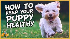 The choices you make in looking after your puppy can make a huge difference in keeping them healthy. Not just while they're young, but well into adulthood and old age! Pet Dogs, Dog Cat, Pets, Large Dog Breeds, Puppy Care, Teeth Cleaning, Health Articles, New Puppy, Pet Health