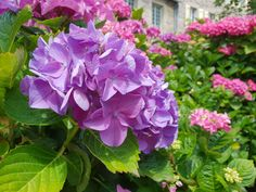 The colours of #summer are definitely in abundance in #Pontrieux. Stopped yesterday for cake and coffee and was presented with these amazing #Hortensia #Hydrangea. Call 0800 949 6801 to learn more about our amazing #assistedholidays & #respitebreaks in #brittany