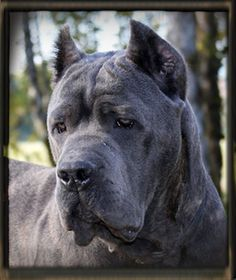 So gorgeous I hope my puppy looks something like this amazing dog.