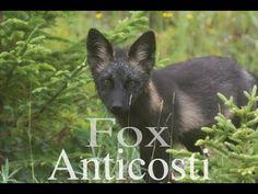 The enigmatic black fox of Anticosti Island Wild Animals, Mammals, North America, Wildlife, Fox, Island, Nature, Black, Destinations