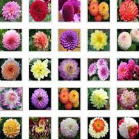 US-Seller Rare Beautiful Perennial Dahlia Flowers Seeds 100PCS C#
