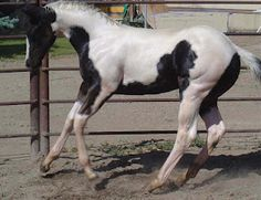 2010 APHA filly