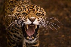 JAGUAR FACE GROWL poster BEAUTIFUL spotted coat SHARP teeth FIERCE 24X36 Brand New. 24x36 inches. Will ship in a tube. - Multiple item purchases are combined the next day and get a discount for domest
