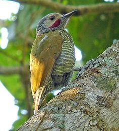 Birds Grey-crowned Woodpecker, Mexico
