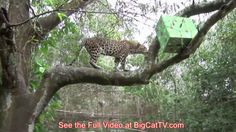 How DO Big Cats Celebrate Christmas? PART TWO