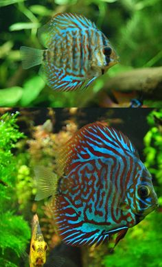 Discus - they are funny fish!