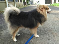 Scotty, Pomerian & Corgi,..  He ia so beautiful..