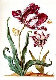 Tulp, door Maria Sibylla Merian (1647-1717).