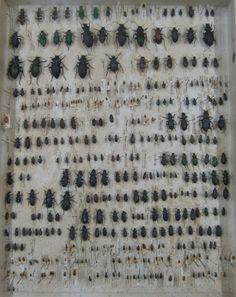 Darwin's collection of Beetles 1, wish I had a wall of these