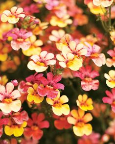 Proven Winners - Juicy Fruits® Kumquat - Nemesia hybrid orange plant details, information and resources. Juicy Juice, Juicy Fruit, Nemesia Flowers, Dahlias, Kumquat Tree, Orange Plant, Garden Whimsy, Annual Flowers, Fruit Plants