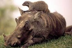 It could have been a scene right out of the hit Disney movie, The Lion King. But while cartoon warthog Pumbaa had a meerkat, Timon, as his best mate, this.