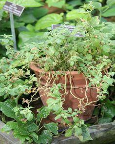 Plantas Medicinais em vasos e canteiros, como plantar !