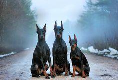 cães bonitos 2 Vetor