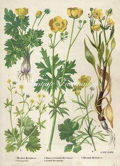 Vintage Botanical Print Antique FLOWERS, plant print botanical print, bookplate 3 art print, yellow plants plant wall