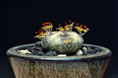 Euphorbia horwoodii
