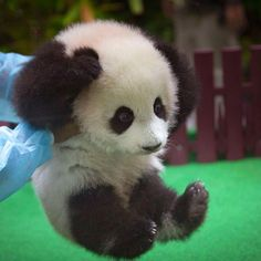 KUALA LUMPUR, Malaysia — A baby panda born in a Malaysian zoo five months ago made her public debut Saturday. The female, who has not yet been named, is the. Niedlicher Panda, Panda Love, Cute Panda, So Cute Baby, Cute Babies, Kuala Lumpur, Cute Baby Animals, Animals And Pets, Funny Animals