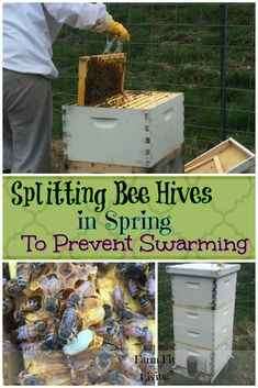When you look in your hives in the spring, do you see a huge population of bees? You should think about splitting bee hives in Spring to prevent swarming. Honey Bee Farming, Honey Bee Garden, Bee Facts, Bee Hive Plans, Honey Bee Hives, Honey Bees, Beekeeping For Beginners, Bee Swarm, Raising Bees