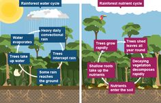 Rainforest Biome, Rainforest Activities, Nutrient Cycle, Water Cycle, Classroom Displays, Aesthetic Room Decor, Biomes, Growing Tree, Environmental Science