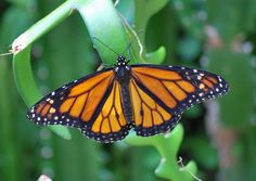 Type of Monarch