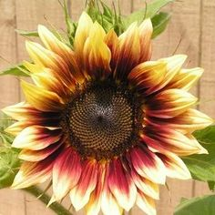10 Not-to be-Missed Sunflower Blooms: Strawberry Blonde Sunflower