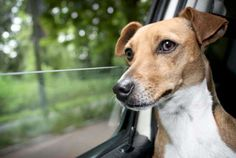 Q: Our family would like to take our Jack Russell, Skipper, on a cross-country road trip. Any advice... - Getty
