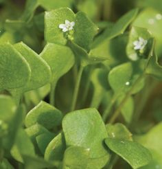 CLAYTONIA perfoliata - Miner's Lettuce. The texture is a little succulent, the flavour is purely lettuce. Excellent fast-growing or overwintered very early sping green. Will self seed in damp, cool conditions.