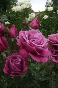 "°rosa° ""Blue Perfum"" Hybrid Tea Rose"