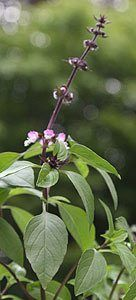 How To Grow Thai Basil In The Garden Pots Or Containers Pictures