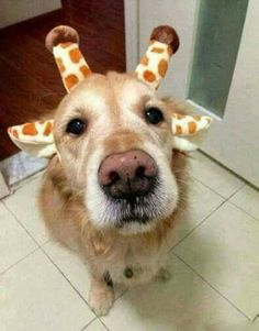 Just a Giraffe, needing some Giraffe snacks....USED TO BE A GOLDEN RETRIEVER THEN MORPHED INTO A BABY GIRAFFE ~ #GoldenRetriever