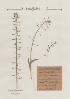 Das Hirtentäschel im Pflanzenportrait auf www.herbal-hunter.de