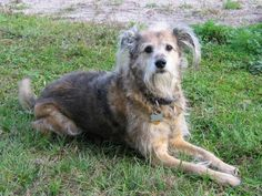 Our sweet and gentle shepherd-terrier mix April (1994-2008) is shown at age 14.