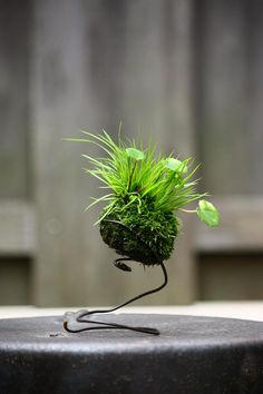 Unique bonsai kokedama Ball Ideas for Hanging Garden Plants selber machen ball String Garden, Ikebana, Air Plants, Garden Plants, Indoor Plants, Indoor Gardening, Indoor Herbs, Zen Sand, Orquideas Cymbidium