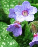 Plicník lékařský - Pulmonaria officinalis European Garden, Perennials, Plants, Gardens, Outdoor Gardens, Plant, Perennial, Garden, House Gardens
