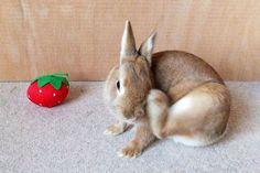 Ichigo san 466 いちごさんうさぎ rabbit bunny netherland dwarf brown cute pet family ichigo ネザーランドドワーフ ペット いちご うさぎ