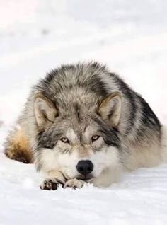 I love wolves.'s photo.