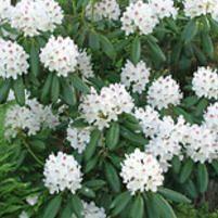 Alppiruusu P.M.A. Tigerstedt - Viherpeukalot, Rhododendron