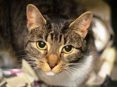 ***GONE BUT NOT FORGOTTEN*** 11/26/14 Brooklyn Center  My name is NALA. My Animal ID # is A1021217. I am a female brn tabby and white domestic sh. The shelter thinks I am about 3 YEARS old.  I came in the shelter as a OWNER SUR on 11/20/2014 from NY 11364, owner surrender reason stated was ALLERGIES. Owner stated that Nala likes to play with the children most of the time or lay around the house. Owner stated that Nala is playful and quiet. AT ACC she's scared and earned a NEW HOPE Only…