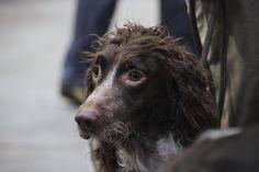 pont-audemer spaniel Irish Water Spaniel, Dog Furniture, Dog Lady, Free Dogs, Dog Training Tips, Dog Names, Dog Pictures, I Love Dogs, Dog Breeds