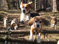 Here we come!!! #beagle stampede!! ...........click here to find out more http://googydog.com