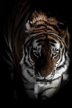 Tiger Tiger burning bright....